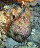 Stonefish (Synanceia verrucosa) - natural colours