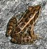 Pickerel Frog (Lithobates palustris) - Wiki