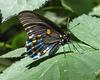 Pipevine Swallowtail (Battus philenor) - Wiki
