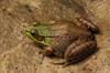 Green Frog (Lithobates clamitans) - Wiki