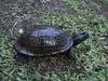 Gulf Coast Box Turtle (Terrapene carolina major) - Wiki