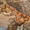 Grey-banded Kingsnake (Lampropeltis alterna) - Wiki