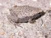 Eastern Narrowmouth Toad (Gastrophryne carolinensis) - Wiki