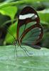 Glasswing Butterfly (Greta oto) - Wiki