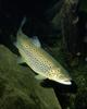 Brown Trout (Salmo trutta) - Wiki