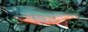 Dolly Varden Trout (Salvelinus malma malma)