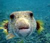 Pufferfish (Family: Tetraodontidae) - Wiki