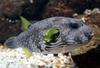 White-spotted Puffer (Arothron hispidus) - Wiki