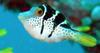 Blacksaddle Filefish (Paraluteres prionurus) - Wiki