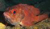 Toadstool Groper (Trachypoma macracanthus) - Wiki