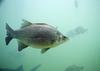 White bass (Morone chrysops) - Wiki