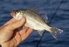 White Perch (Morone americana) - Wiki