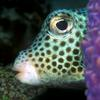Spotted trunkfish, Lactophrys bicaudalis