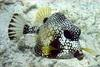 Smooth trunkfish, Lactophrys triqueter