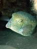 Boxfish (Family: Ostraciidae) - Wiki