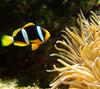 Clark's anemonefish (Amphiprion clarkii) - Wiki