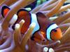 Percula Clownfish (Amphiprion percula) - Wiki