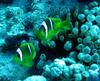 Red Sea Clownfish (Amphiprion bicinctus) - Wiki