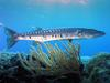 Barracuda (Family: Sphyraenidae) - Wiki