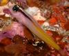 Yellow-and-black Triplefin (Forsterygion flavonigrum) - Wiki