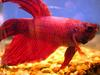 Siamese Fighting Fish (Betta splendens) - Wiki