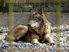 Eastern Timber Wolf (Canis lupus lycaon) - Wiki