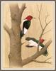[Woodpeckers by Zimmerman] Red-headed Woodpecker