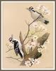 [Woodpeckers by Zimmerman] Hairy Woodpecker