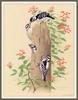[Woodpeckers by Zimmerman] Downy Woodpecker