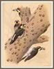 [Woodpeckers by Zimmerman] Acorn Woodpecker