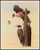 [Woodpeckers by Zimmerman] Lewis's Woodpecker
