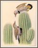 [Woodpeckers by Zimmerman] Northern Gilded Flicker