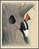 [Woodpeckers by Zimmerman] Ivory-billed Woodpecker