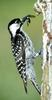 Red-cockaded Woodpecker (Picoides borealis) - Wiki
