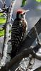 Arizona Woodpecker (Picoides arizonae) - Wiki