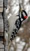 Woodpecker (Family: Picidae) - Wiki