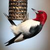 Red-headed Woodpecker (Melanerpes erythrocephalus) - Wiki