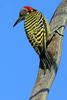 Hispaniolan Woodpecker (Melanerpes striatus) - Wiki