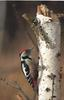 Middle Spotted Woodpecker (Dendrocopos medius) - Wiki
