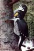 Black-backed Woodpecker (Picoides arcticus) - Wiki