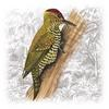 Red-stained Woodpecker (Veniliornis affinis) - Wiki
