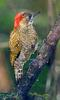 Little Woodpecker (Veniliornis passerinus) - Wiki