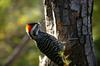 Striped Woodpecker (Veniliornis lignarius) - Wiki