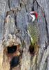Golden-tailed Woodpecker (Campethera abingoni) - wiki