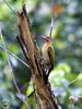 Olive-backed Woodpecker (Dinopium rafflesii) - Wiki