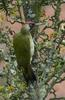 Green Woodpecker (Picus viridis) - Wiki