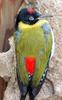 Black-headed Woodpecker (Picus erythropygius) - Wiki