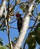 Lineated Woodpecker (Dryocopus lineatus) - Wiki