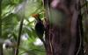Pale-billed Woodpecker (Campephilus guatemalensis) - Wiki