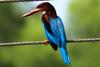White-throated Kingfisher (Halcyon smyrnensis) - Wiki